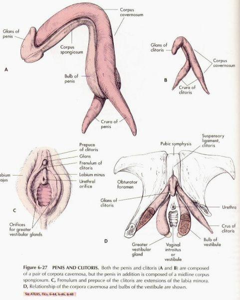 Womans clitorus
